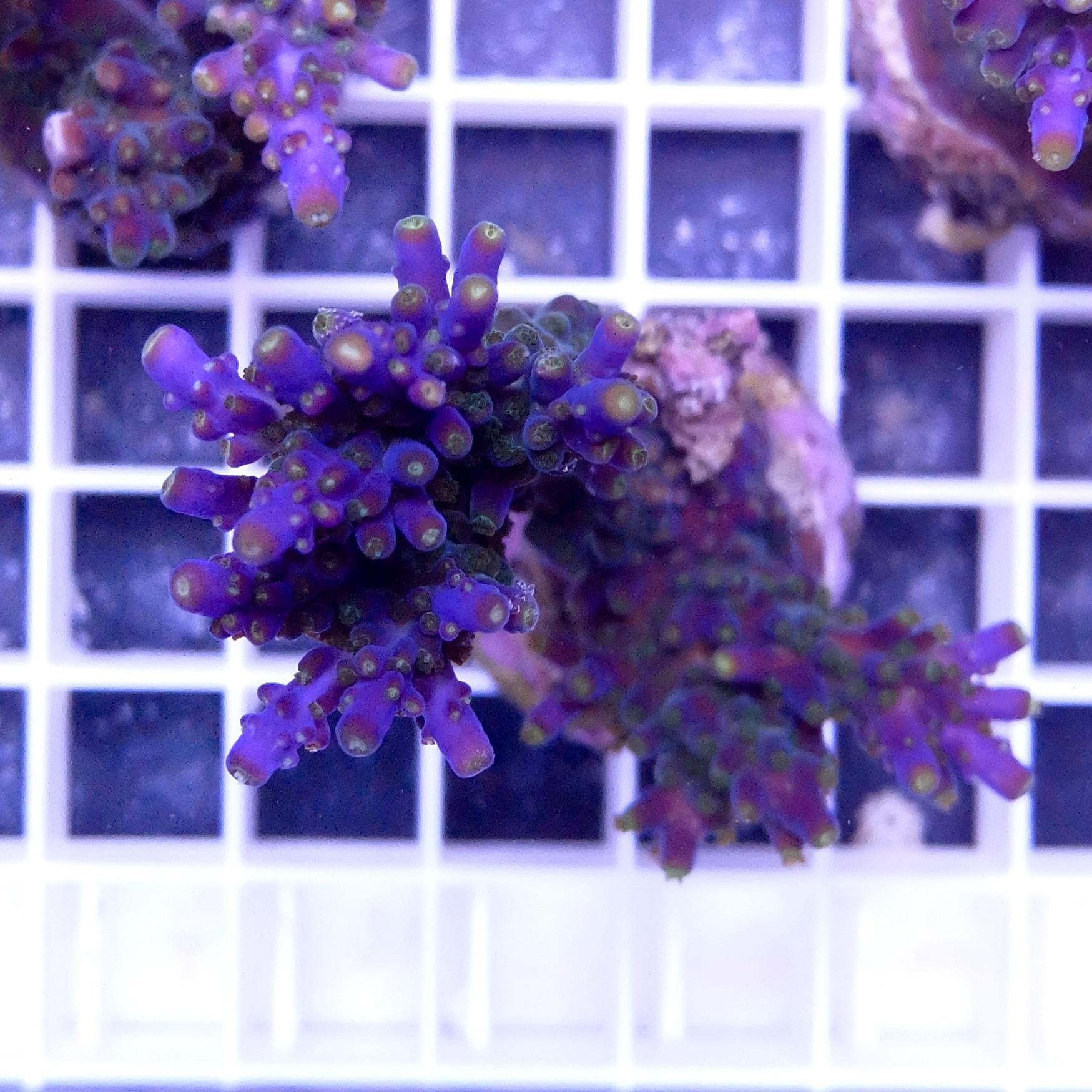 Acropora valida meerwasser aquaristik potsdam for Meerwasser aquaristik shop
